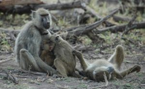 Amboseli baboons (the female on the left is named Flank).