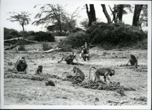 Behavioral Ecologist Jeanne Altmann observing baboons in Kenya. (1975; Photo by Stuart Altmann)