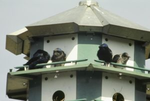 Purple martins: the first birds Charles Brown studied.
