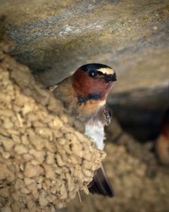 A cliff swallow's nest. (Photo by Kenton Miller)