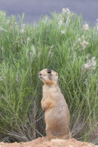This prairie dog is checking for predators such as coyotes, golden eagles, and red foxes. Photo by Elaine Miller Bond.