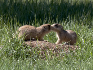 Prairie dogs frequently interact. Here one prairie dog is kissing another. Kissing is especially common among genetic relatives. Photo by El